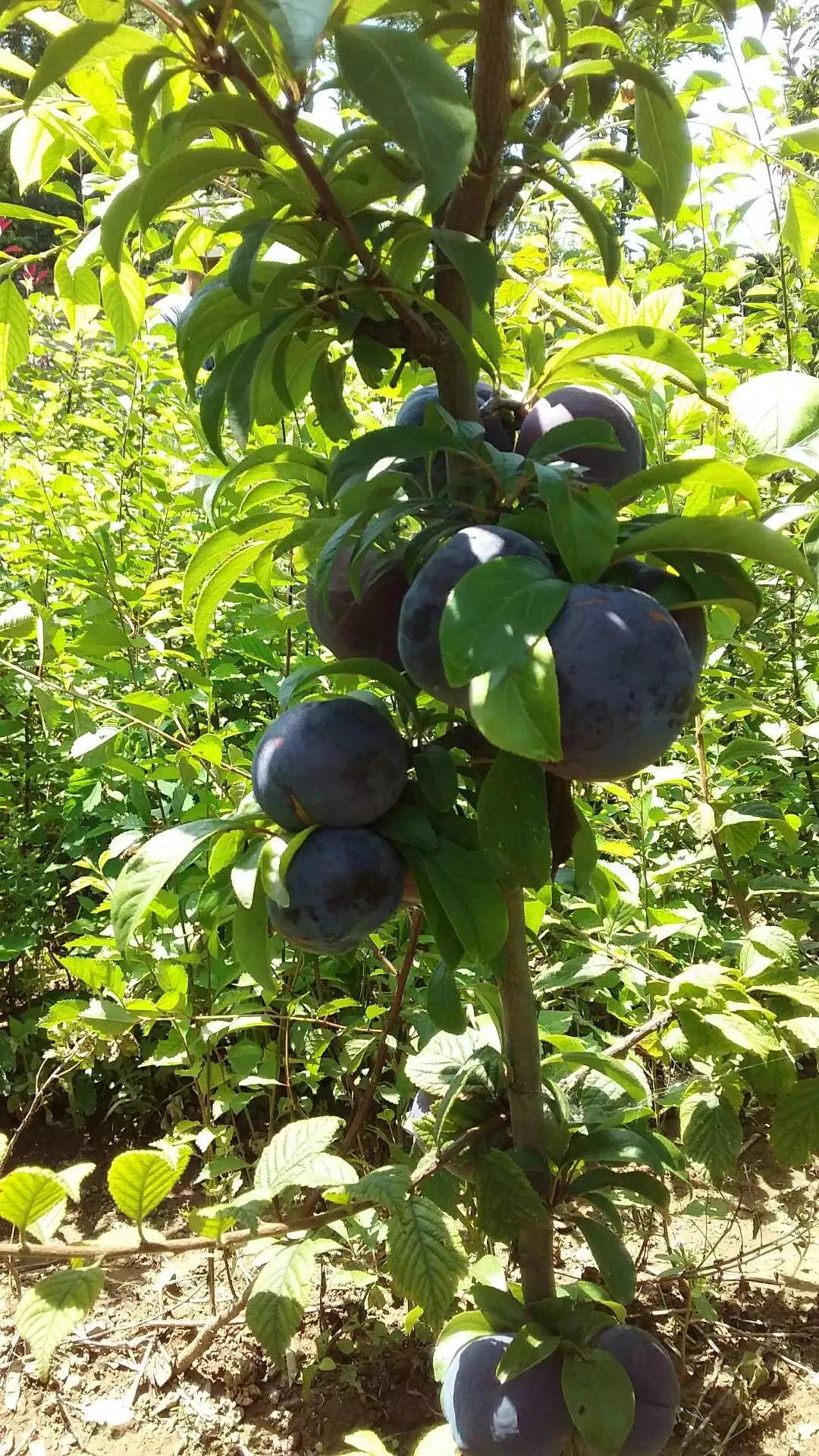 核果类珍稀品种高档果 - 黄牛 - 人生价值的追求者……